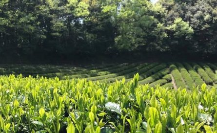 Fujihara Tea Growers Tea Farm